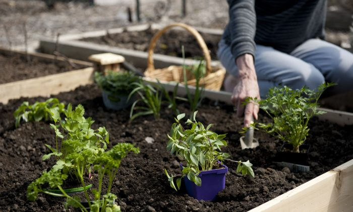 Planting herbs in a raised garden bed. (Cat Rooney/Epoch Times)