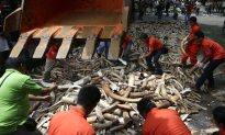In Fight Against Elephant Poaching, Philippines Crushes 5 Tons of Ivory