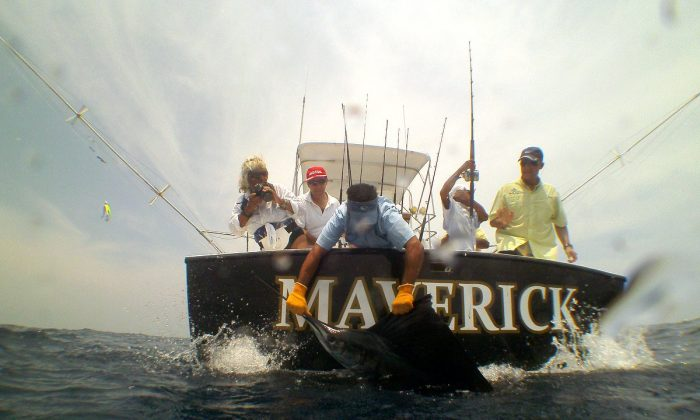 A sailfish brought to the boat to be released by Pacific Fins fishing team. (John Christopher Fine copyright 2013)