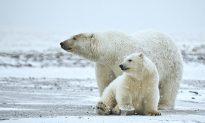 New Diseases Harm Polar Bears as Climate Changes