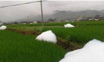 'Cotton-Candy' 'Monsters' Appear in Rice Paddy