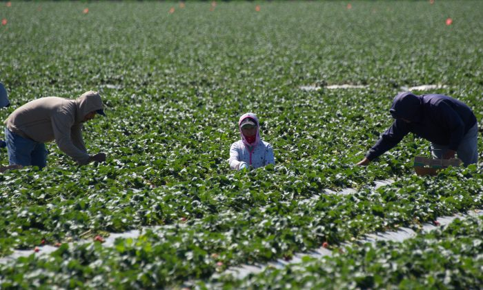 Migrant workers harvest strawberries at a farm near Oxnard, California this past March. An updated farm bill recently failed to pass the House on June 20. The current farm bill expires on Sept. 30th. (JOE KLAMAR/AFP/Getty Images)