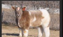 'Fluffy Cow' Posted on Reddit, Takes Internet by Storm (+Photo)
