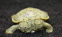 Two-Headed Turtle Born in Texas Named Thelma and Louise