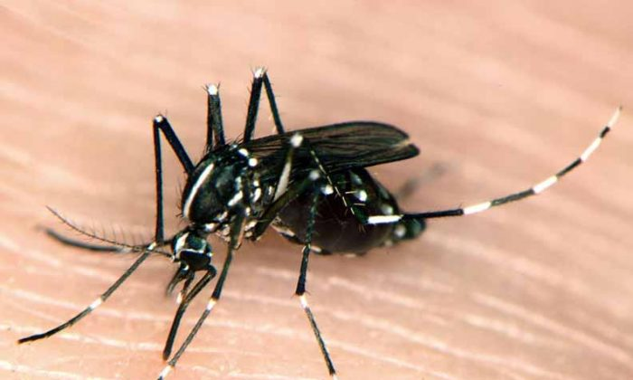 An Asian tiger mosquito. (Courtesy of NJ.gov)