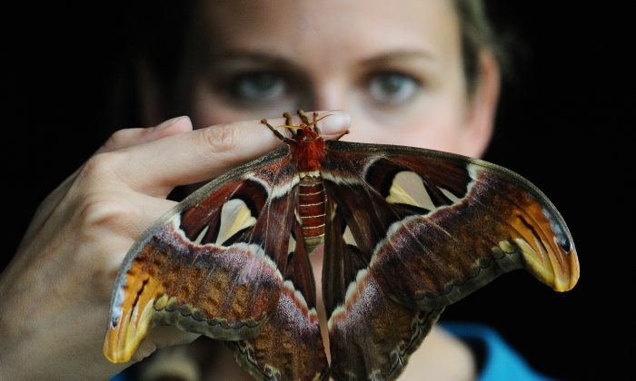 An employee of Kew Gardens, Jo Maxwell, poses with an Atlas moth in London on May 27, 2010. (Carl De Souza/Getty Images)