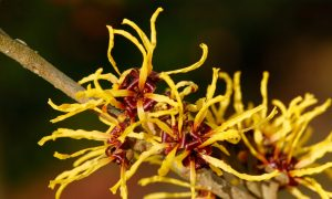 Witch Hazel for Bruises, Bumps, and Varicose Veins