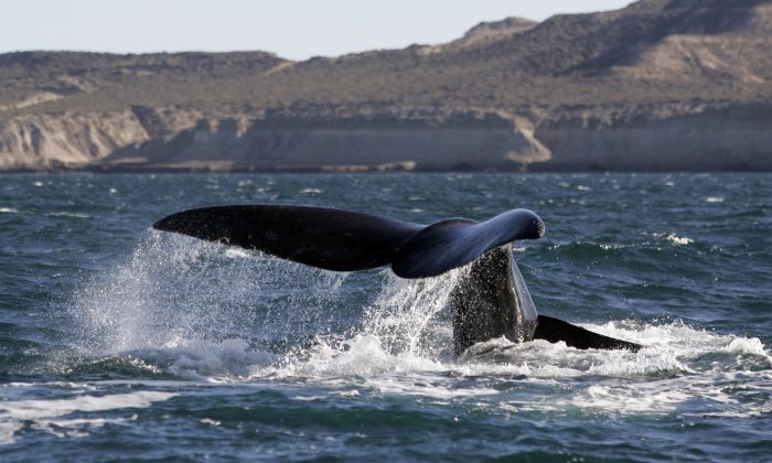 A Fraca Austral whale (also known as Southern Right Whale) flips its tail in the New Golf near Puerto Piramides, in Peninsula Valdez, in the Argentine province of Chubut, June 2006.   (JUAN MABROMATA/AFP/Getty Images)