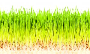 Wheatgrass, the Ultimate Nutrient Booster