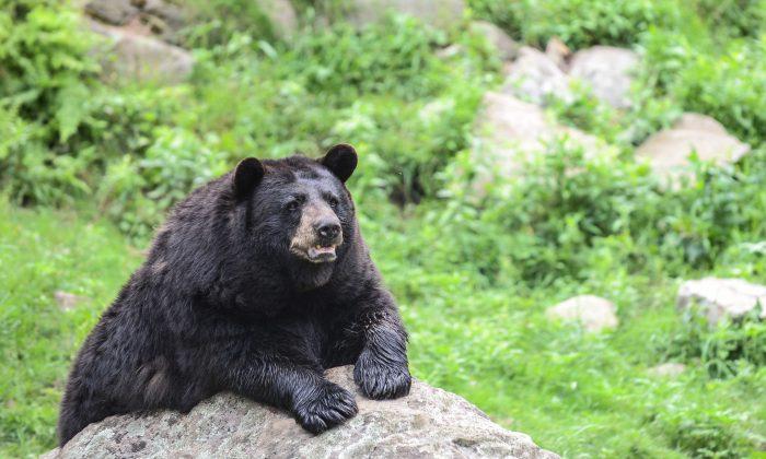 File photo of a black bear.(Matthew Little/The Epoch Times)