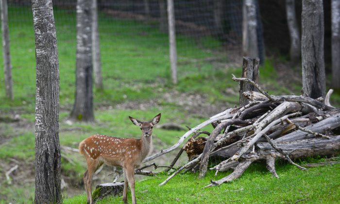An article saying that the minimum age for hunting has been set to 21 is fake. A A fallow deer curiously looks at his visitors at Parc Omega on July 5, 2013. (Matthew Little/The Epoch Times)