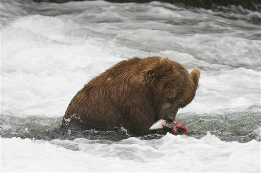 In this July 2012 photo provided by Roy Wood and explore.org, a bear is seen eating a fish at Brooks Camp in Katmai National Park and Preserve, Alaska. The stars of a widely popular Internet series are ready for their second season. The stars in this show are the grizzly bears of Katmai National Park, and they will be coming to a small screen near you with more cameras and different angles as they fight to get a bounty of salmon before winter sets in. (AP Photo/Roy Wood and explore.org)