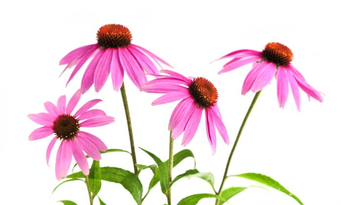 Echinacea is now popularly marketed as an immunity booster. (Elena Elisseeva/photos.com)