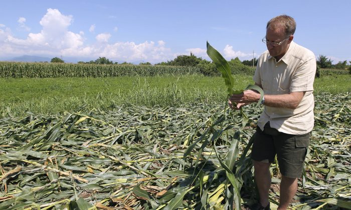 Giorgio Fidenato stands on 350 square meters (just shy of an acre) of nearly mature corn genetically altered to resist pesticides, near Pordenone, northern Italy. Just a day before, on Aug. 9, 2010, the corn had been trampled to the ground by 70 anti-GMO activists wearing chemical warfare suits. Fidenato's genetically modified corn, grown in fields of surreptitiously, and, detractors say, illegally planted Monsanto MON 810 not far from the Austrian and Slovenian borders. (AP Photo/Paolo Giovannini)