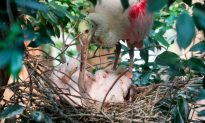 Roseate Spoonbill Chicks Hatch at Bronx Zoo