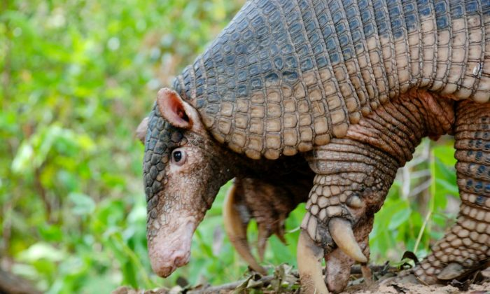 A giant armadillo in the Pantanal region of Brazil. A multi-year study marking its third year in July has found important information about this little-known secretive species. (Courtesy of Pantanal Giant Armadillo Project)
