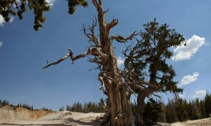 Oldest Trees in the World