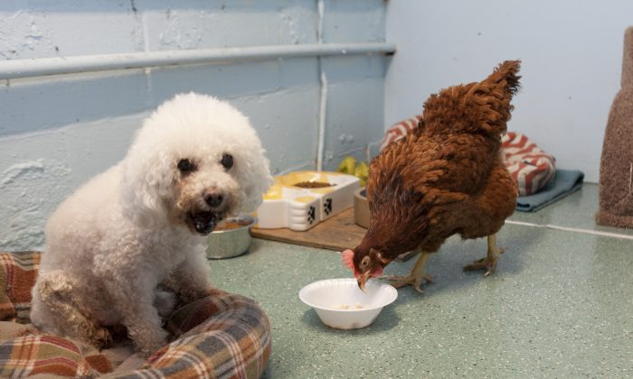 Marsha, an abandoned hen at Brooklyn Animal Resource Coalition, steals food from the poodle's dish on July 25. (Samira Bouaou/Epoch Times Staff)