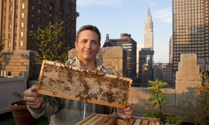 Urban beekeeper Andrew Cote checks on a beehive on the Waldorf Astoria rooftop at sunrise on July 19. (Samira Bouaou/Epoch Times)