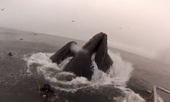 A screenshot of a YouTube video shows the whales and the divers.