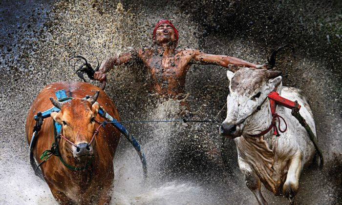 A photo by Wei Seng Chen of Malaysia showing a competitor and his charges reaching the finish of a bull race in Batu Sangkar, West Sumatra. (Wei Seng Chen, Malaysia)