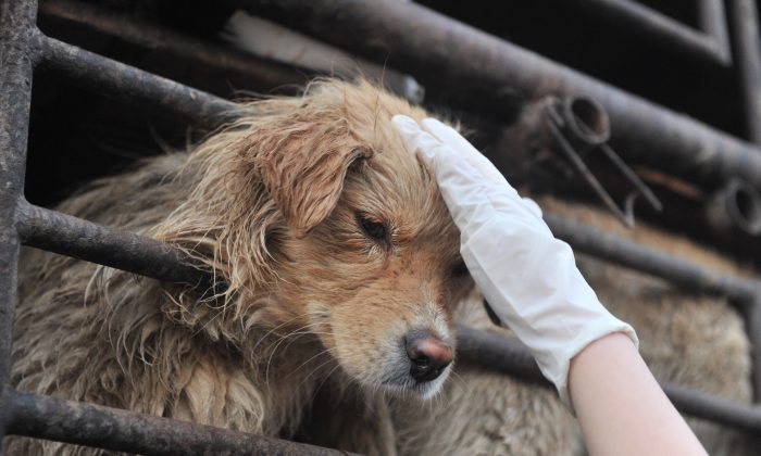 A Chinese animal lover consoles a dog after a convoy of trucks carrying some 500 dogs to be sold as meat was stopped along a highway in Beijing on early April 17, 2011, and the dogs were later rescued to the China Animal Protection Association. There were about 58 million pet dogs in 20 major Chinese cities at the end of 2009 and the figure is rising about 30 percent each year, according to a survey, as pet owners in China spend an estimated two billion USD a year on their animals. (STR/AFP/Getty Images)