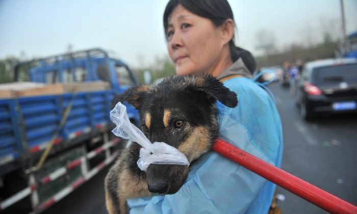 In this file photo a Chinese animal lover rescues a sick dog after a convoy of trucks carrying some 500 dogs to be sold as meat, were stopped along a highway in Beijing. (STR/AFP/Getty Images)
