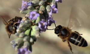 Bee Sting Acupuncture Increasingly Popular in China