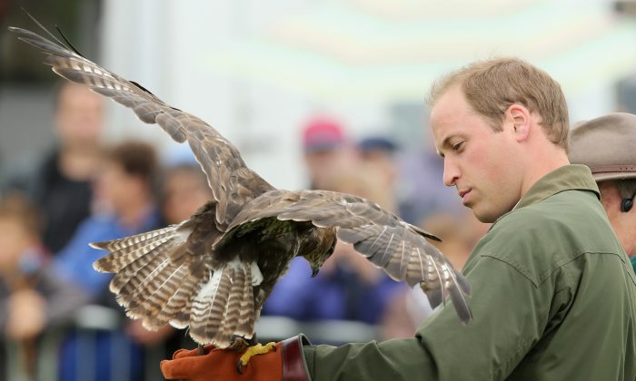 Prince William, Duke of Cambridge, holds a bird of prey during his visit at Anglesey agricultural show on his first official engagement since the birth of his son Prince George of Cambridge last month at Anglesey Showground in Bangor, Wales, on Aug. 14, 2013. Prince William had two weeks parental leave from work as a RAF rescue helicopter pilot in Anglesey. (Chris Jackson/Getty Images)