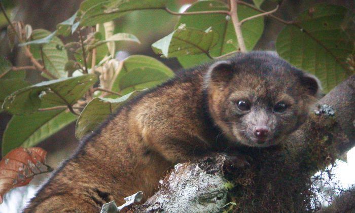 In this handout photo provided by Smithsonian, an olinguito, a new species of Carnivore which has been newly discovered, is seen in an undated photo. (Mark Gurney/ Smithsonian/Getty Images)