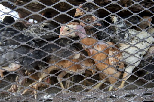 In this July 15, 2013 photo, chickens for sale stand in cage at a border market, near Jimani, Dominican Republic. Chicken from Chile entered America tainted with Dioxin, and food safety advocates are uneasy about imported foods. (AP Photo/Dieu Nalio Chery)