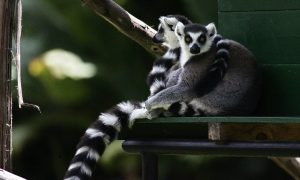 Lemur Extinction Ahead? New Plan to Boost Conservation of Endangered Species