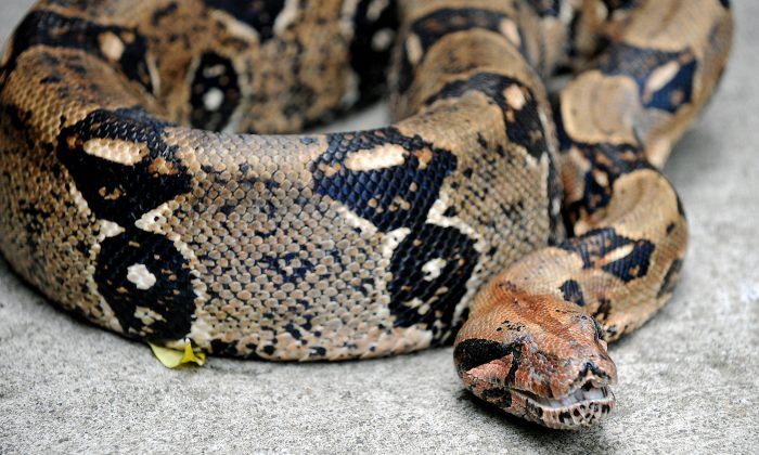 A boa constrictor (not in story) is shown in 2008 at the National Biodiversity Institute (INBIO) park in Santo Domingo de Heredia. (Yuri Cortez/AFP/Getty Images)