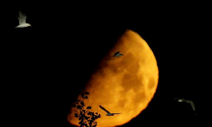 The moon is seen in its waxing gibbous stage as birds fly over the parking lot at MetLife Stadium following an international friendly soccer match between Mexico and Ivory Coast, Thursday, Aug. 15, 2013, in East Rutherford, N.J. (AP Photo/Julio Cortez)
