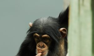 Chimp Stuck in Chimney and 13 Other Unusual Animal Rescue Calls