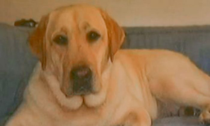 Maru, a yellow lab that died when left in a stolen van in Los Angeles around Aug. 17, 2013. (Screenshot/NBC News)