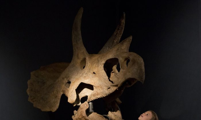 """Elia aged 4, poses for photographs beside a triceratops skull during a photo call at Christie's auction house in London, Aug. 5, 2013. The skull, which was excavated from private land in the U.S., is estimated to fetch between 150,000 to 250,000 pounds ($230,000 to $380,000, euro 173,000 to 289,000 ) in an """"Out of the Ordinary"""" sale on September 5. (AP Photo/Matt Dunham)"""
