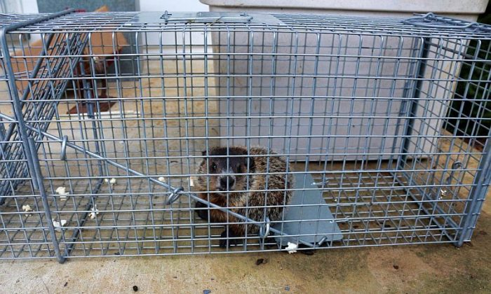 Baby woodchuck caught in the Tomahawk Live trap. (Copyright 2013, Myriam Moran)