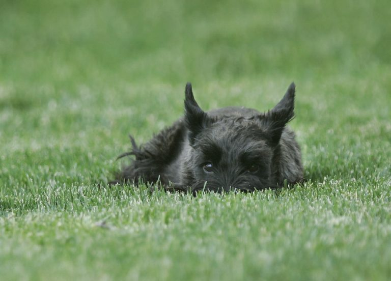 President George W. Bush's dog 'Miss Beazley,' a Scottish Terrier, eyes the press corps from the South Lawn of the White House in Washington, Tuesday, May 29, 2007, as they wait for president's arrival. (AP Photo/Gerald Herbert)