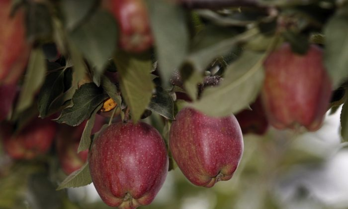 Red Delicious apples hang from the branches on a farm in Washington state, file. (Jeff T. Green/Getty Images)
