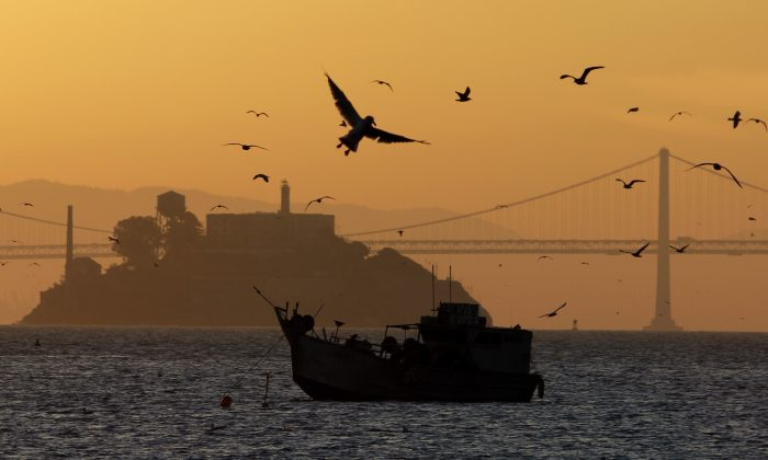 Seagulls hover over a fishing boat hauling in a catch of herring at sunrise in Sausalito, Calif., Thursday, Jan. 27, 2011. In the background is Alcatraz Island and the San Francisco-Oakland Bay Bridge. (AP Photo/Eric Risberg)