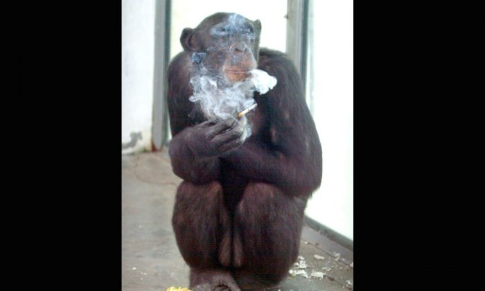 Ai Ai, a 26-year-old chimpanzee, enjoys a cigarette after a meal at the zoo in Xian, in central China's Shaanxi province, file photo. In South Bend, Indiana, there's a law against monkeys smoking. (AFP/AFP/Getty Images)