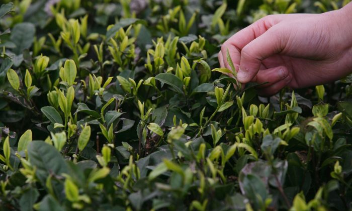 A farmer picks tea leaves in the outskirts of Chongqing Municipality, China, file. (China Photos/Getty Images)