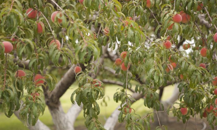 Older peach trees at U-Pick Gieringers Orchard in Edgerton, Kan. (Cat Rooney/Epoch Times)