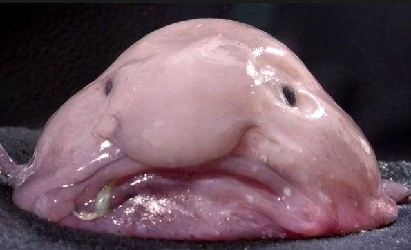 The blob fish. (NSEC UK/YouTube)
