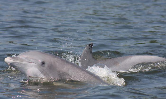 Bottlenose dolphins. (NOAA)