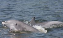 Dolphin Death Spike Could Be Traced to Infectious Pathogen