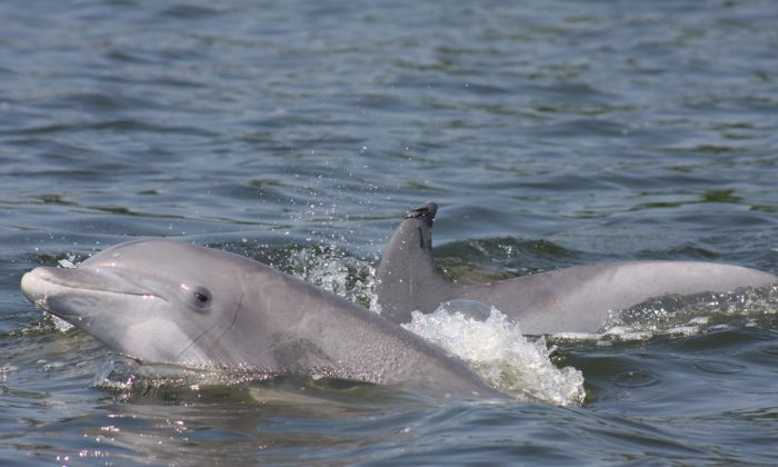 Bottlenose dolphins like these are experiencing an unusually high mortality rate in the past 6 weeks. Officials are investigating the possible cause. (Courtesy NOAA)