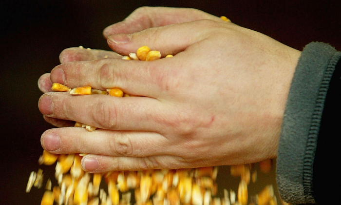 Eighty-eight percent of U.S.-grown maize is now genetically engineered, but one particular strain released in 1998 caused big problems for conventional farmers. (Scott Barbour/Getty Images)