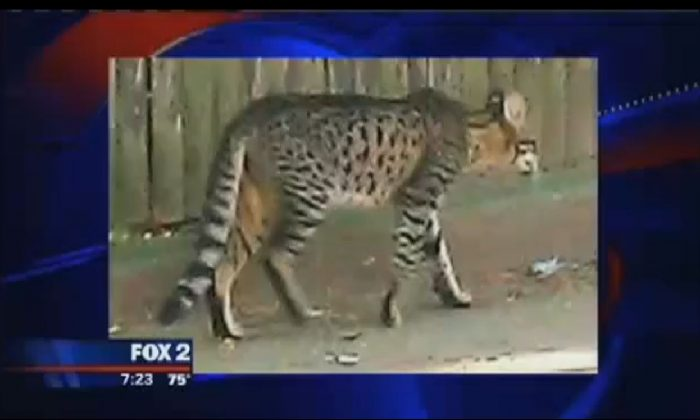 A screenshot of Fox shows the purported big cat in Detroit.